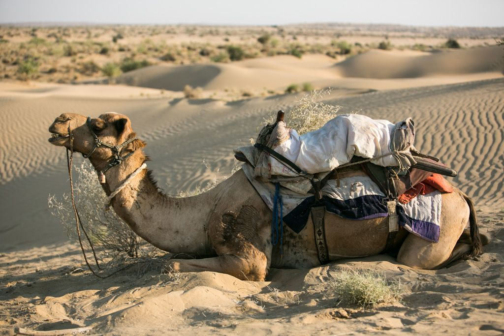 indian camel safari
