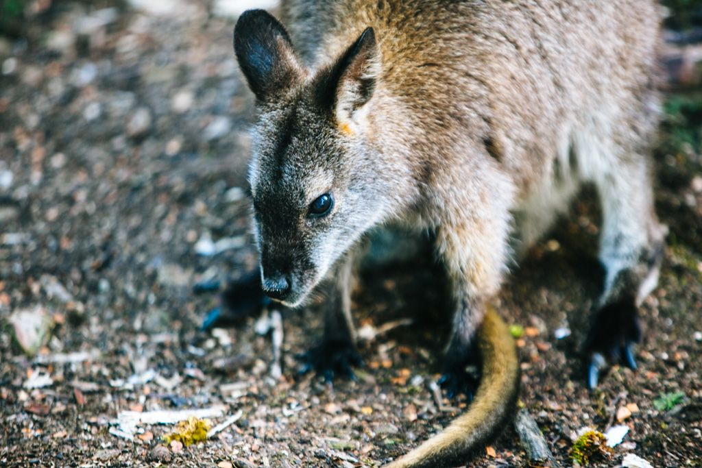 Pademelon on the Overland Track in Tasmania