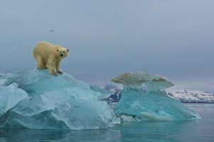 Polar Bears in Svalbard, Norway