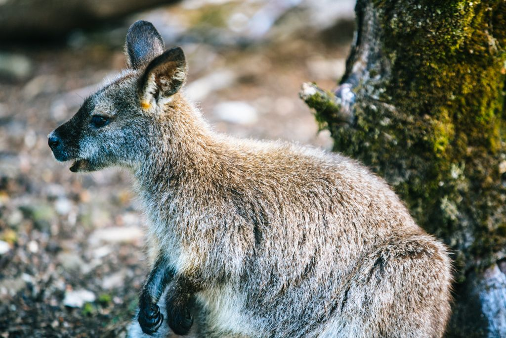 Overland Track wallaby