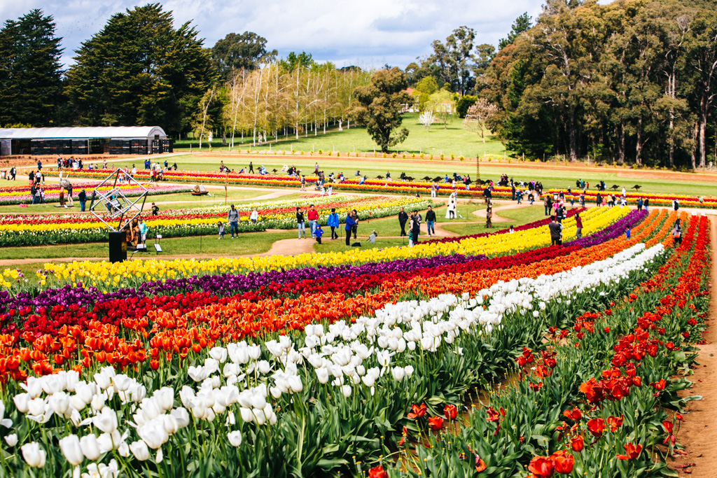 The Tessalaar Tulip Festival near Melbourne