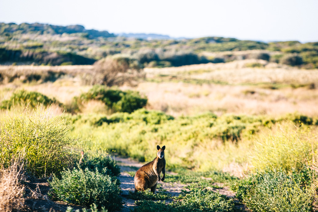 Kangaroo on Phillip Island
