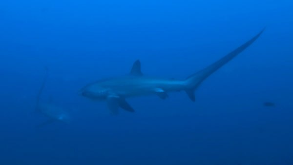 thresher sharks malapascua