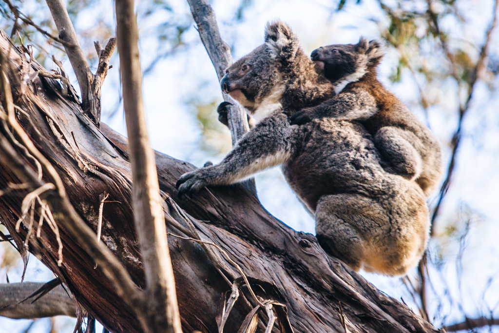 koala on kangaroo island